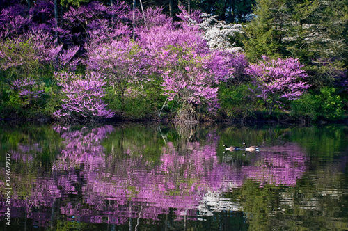 Vászonkép A pair of canada geese swim through the reflections of the blooming redbud trees along the shore of a peaceful lake