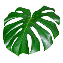 Leaf Of A Monstera Isolated On...