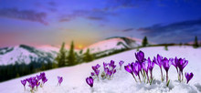 Spring Landscape Rising Sun And Blooming Flowers Violet Crocuses ( Crocus Heuffelianus ) On Glade In Mountains Covered Of Snow. Carpathian Mountains
