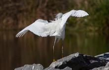 Snowy Egret Launch