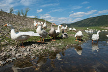 Rural Geese On The River Coast...