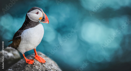 Foto Atlantic Puffins bird or common Puffin in ocean blue background