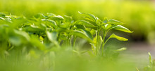 Small Seedlings Growing In Cul...