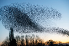 Beautiful Large Flock Of Starl...