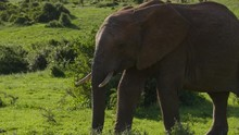 Elephant Walking In Wide Green Field, Pan Left Tracking Close Up Shot, Obscured By Bush As Closing Wipe Transition