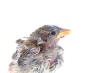 Squab Chick Birds Three Days O...
