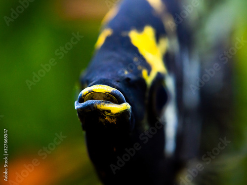 macro close up of a black and white angel fish in a fish tank with blurred backg Canvas Print