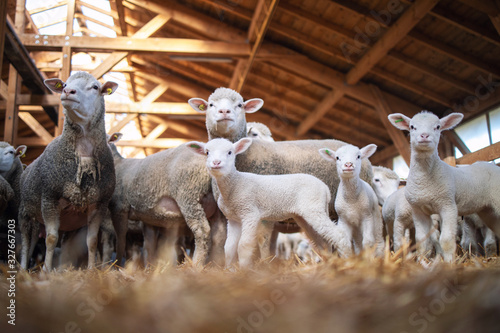 Leinwand Poster Group of sheep and lamb domestic animals in wooden barn at the farm