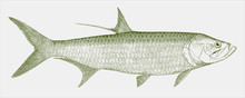 Indo-pacific Tarpon, Megalops Cyprinoides, A Marine Fish In Side View