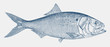 Atlantic menhaden, brevoortia tyrannus, a fish from the north atlantic coastal waters in side view