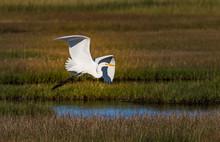 White Egret Soaring Over Wetlands