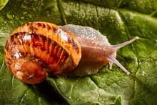 Snail Muller Gliding On The We...