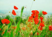 Poppy, Field, Flower, Red, Nature, Summer, Poppies, Meadow, Green, Spring, Flowers, Grass, Landscape, Blossom, Sky, Plant, Bloom, Beauty, Wild, Beautiful, Garden, Blue, Flora, Natural, Rural