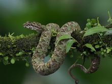 Greifschwanz-Lanzenotter (Bothriechis Schlegelii) In Costa RicaUS DIGITAL CAMERA