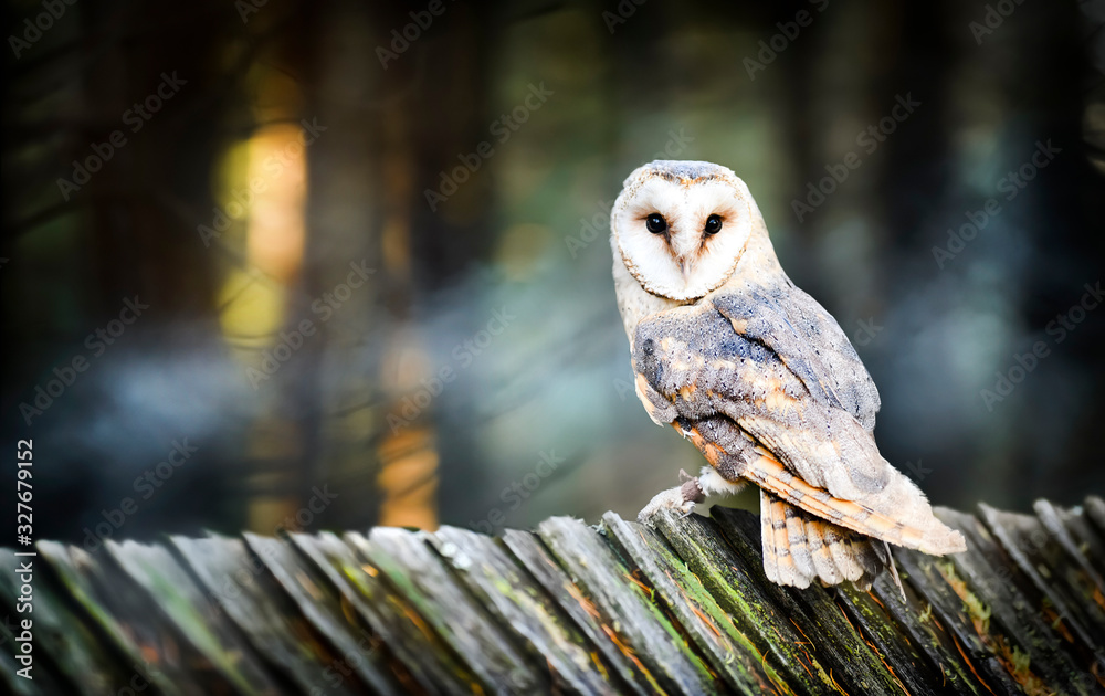 Beautiful barn owl bird in natural habitat sitting on old wooden roof