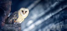 Beautiful Barn Owl Sitting On ...