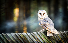Beautiful Barn Owl Bird  In Na...
