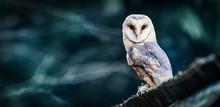 Beautiful Barn Owl Bird  In Na...