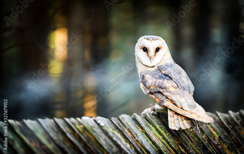 Beautiful barn owl bird  in natural habitat sitting on old wooden roof Poster Mural XXL