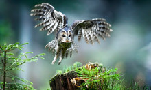 Tawny Owl Or Brown Owl Id Deep Forest (Strix Aluco). Fly Action Photo. Defocus Background.