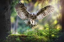 Tawny Owl In Flight (strix Aluco), Action Flying Scene From The Deep Dark Forest With Common Owls.