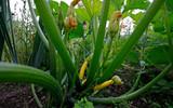 młode zielone rośliny liście owoce i kwiaty cukinia rośnie w letnim ogrodzie warzywnym