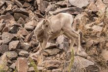 Rocky Mountain Bighorn Lamb