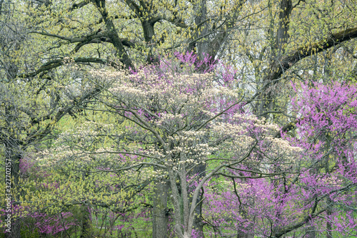 Fényképezés Flowering dogwood and eastern redbud trees blend together with budding oaks in a colorful performance of spring color