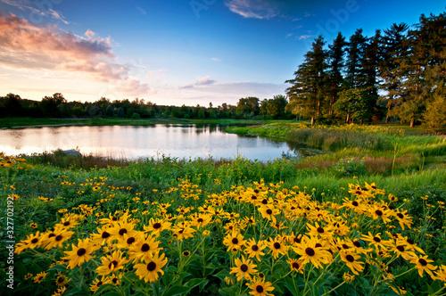 Sunset light on black-eyed susan wildflowers and a small secluded lake Slika na platnu