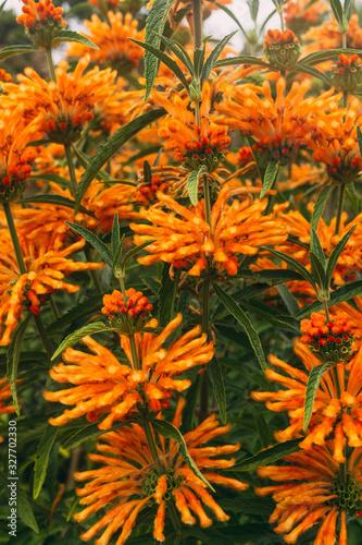 leonotis leonurus medicinal large orange flowers