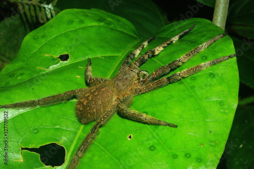 A large and furry spider with his legs stretched out on a green leaf in the ecua Wallpaper Mural