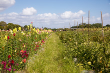 Field Of Flowers And Tomatoes