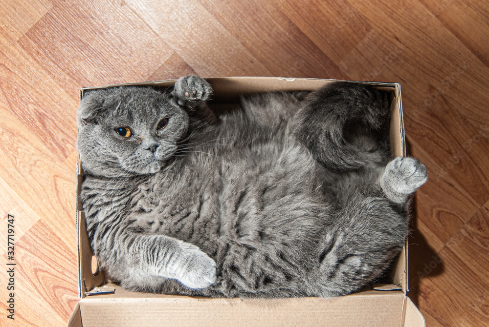 Fototapeta Grey Scottish fold cat sitting in shoe box. Cats are usually very curious andthey like to get into interesting places