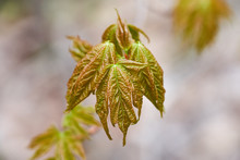 Young Maple Leaves In Spring J...