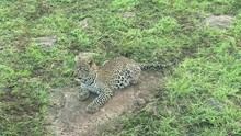 Five Months Old Leopard Cub Ly...