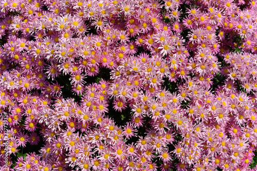 Fototapety, obrazy: blooming pink chrysanthemum flowers as background horiozntal composition