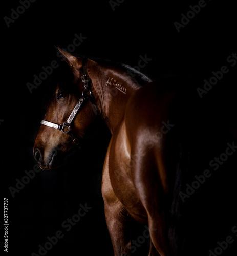 Fototapeta Horse in Studio obraz