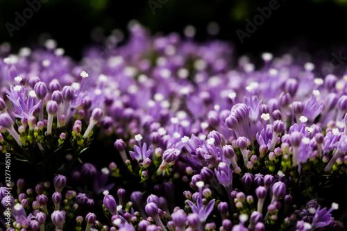 Photo Elegant macro closeup of tiny Syringa flower also known as Lilac.