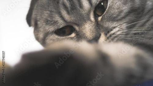 Fotografía Striped gray cat is playing lying
