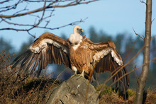 The Griffon Vulture (Gyps Fulv...