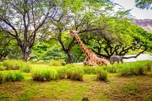 Giraffe Resting In Tree Shade