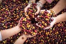 Organic Red Cherries Coffee Be...