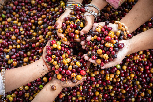 Fototapeta Organic red cherries coffee beans in hands of new generation farmers, berry coffee beans.	 obraz