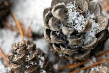 Pine Cones Lying On The Snow I...