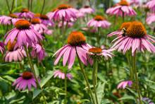 Pink Perennial Marguerite Dais...