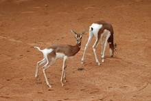 The Dama Gazelle (Nanger Dama)