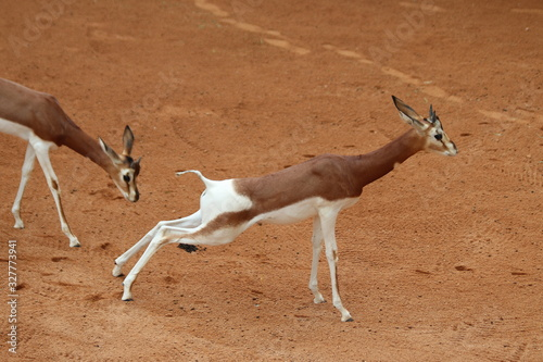 Photo The dama gazelle (Nanger dama)