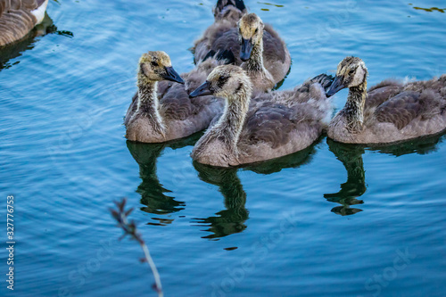 Photo Young Canada geese in water