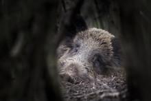 One Of Wild Boar (Sus Scrofa -...