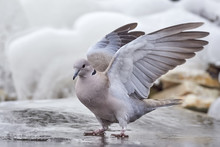 Collared-Dove , Streptopelia D...